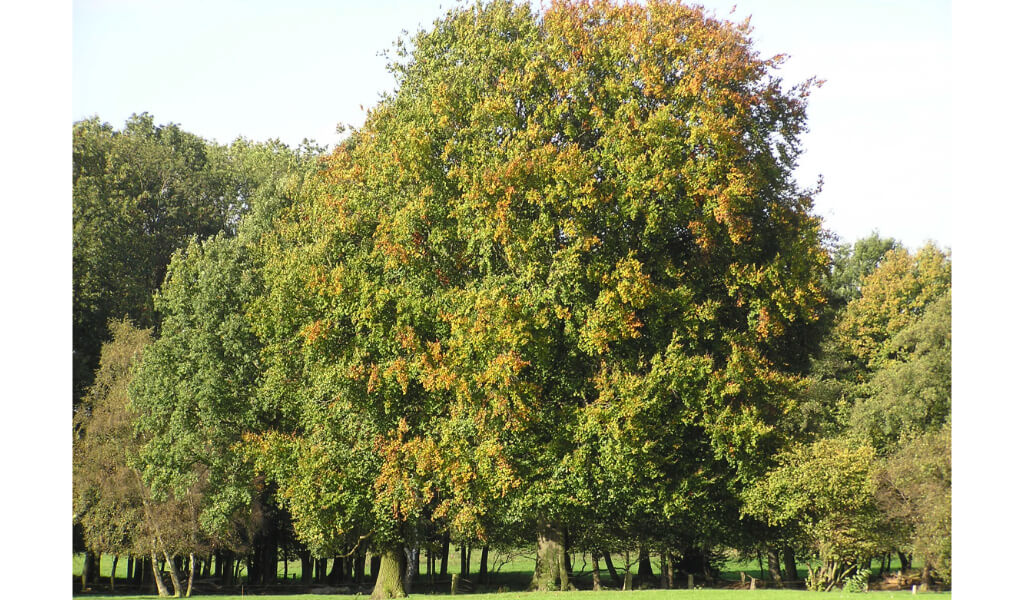 Naturdenkmale Baumgruppe Klaphecke