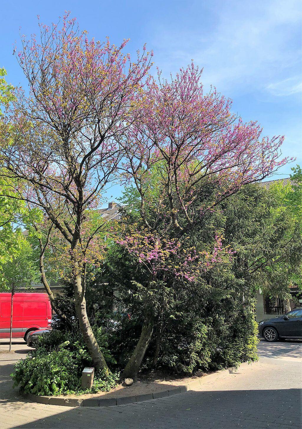 unbekanntes-judasbaum